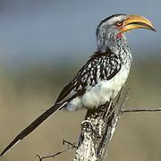 Yellowbilled Hornbill, (Tockus leucomelas) Portrait of lone bird perched on dead limb. Kruger National Park. South Africa.