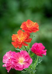 Eschscholzia californica Thai Silk Series. California poppy