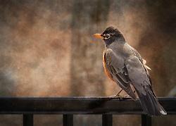 An American Robin Walks A Tight Line Across The Back Fence