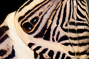 Close-up abstract of the underside wing pattern of a Mosaic butterfly (Colobura dirce) resting with wings folded at the Long Sutton Butterfly and Wildlife Park in Lincolnshire