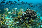 Yellow snapper (Lutjanus argentiventris) & Creole fish (Paranthias colonus)<br /> Devil's Crown<br /> Galapagos<br /> Pacific Ocean<br /> Ecuador, South America