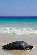 East Pacific green sea turtle or black sea turtle, Chelonia mydas agassizi, female resting on beach ( basking ) to escape males in water, Floreana, Galapagos Islands, Ecuador, ( Eastern Pacific )