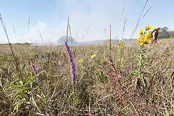 Smoke and fire of prescribed burn with maximilian sunflowers and gayfeather on the Blackland Prairie at Clymer Meadow Preserve, Texas Nature Conservancy, Greenville, Texas, USA.