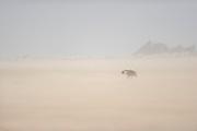 Brown hyena (Parahyaena brunnea or Hyaena brunnea) searching for food, Tsau-ǁKhaeb-(Sperrgebiet)-Nationalpark, Namibia | Schabrackenhyäne (Parahyaena brunnea oder Hyaena brunnea), Sperrgebiet National Park, Namibia