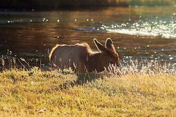 calf, elk, madison river, back light, yellowstone national park