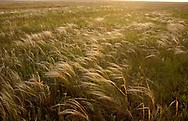 Stipa Steppe Grassland, Kazakhstan