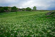 France, Languedoc Roussillon, Lozère (48), Cevennes, massif du Mont Lozère, l'Hôpital, fleurs de Fenouil des Alpes, N.L.: Meum athamanticum, (Ombellifères)