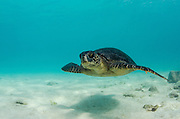 Galapagos Green Sea Turtle (Chelonia mydas agassizi) underwater<br /> GALAPAGOS ISLANDS,<br /> Ecuador, South America<br /> Endemic Subspecies