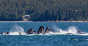 Humpback whales, Tongass National Forest, Alaska.