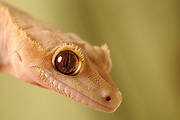 Crested Gecko (Rhacodactylus ciliatus) native to New Caledonia, resdiscovered in 1994, captive.