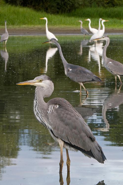 Mission: Black Storks River Elbe Germany; Biosphärenreservat Niedersächsische Elbtalaue; Biosphere Reserve Middle Elbe; Graureiher; Grey Heron; Ardea cinerea; Casmerodius albus; Silberreiher; Great White Egret