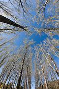 Poplar Trees, Hunter Valley, Australia
