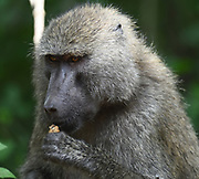 An olive baboon (Papio anubis) sits beside a track cracking and eating nuts. Arusha National Park. Arusha, Tanzania.