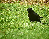 American Crow. Image taken with a Nikon D800 camera and 500 mm f/4 VR lens.