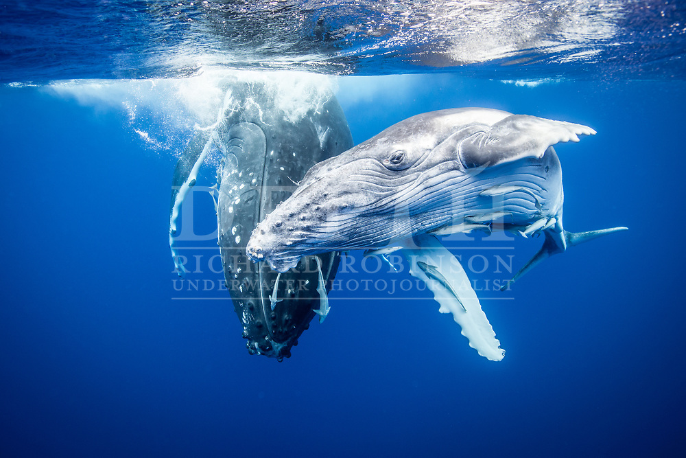 Megaptera novaeangliae (Humpback Whale) female and calf off the coast of the Vava'u Island group in the Kingdom of Tonga.<br /> Saturday 01 September 2012.<br /> Photograph Richard Robinson © 2012.