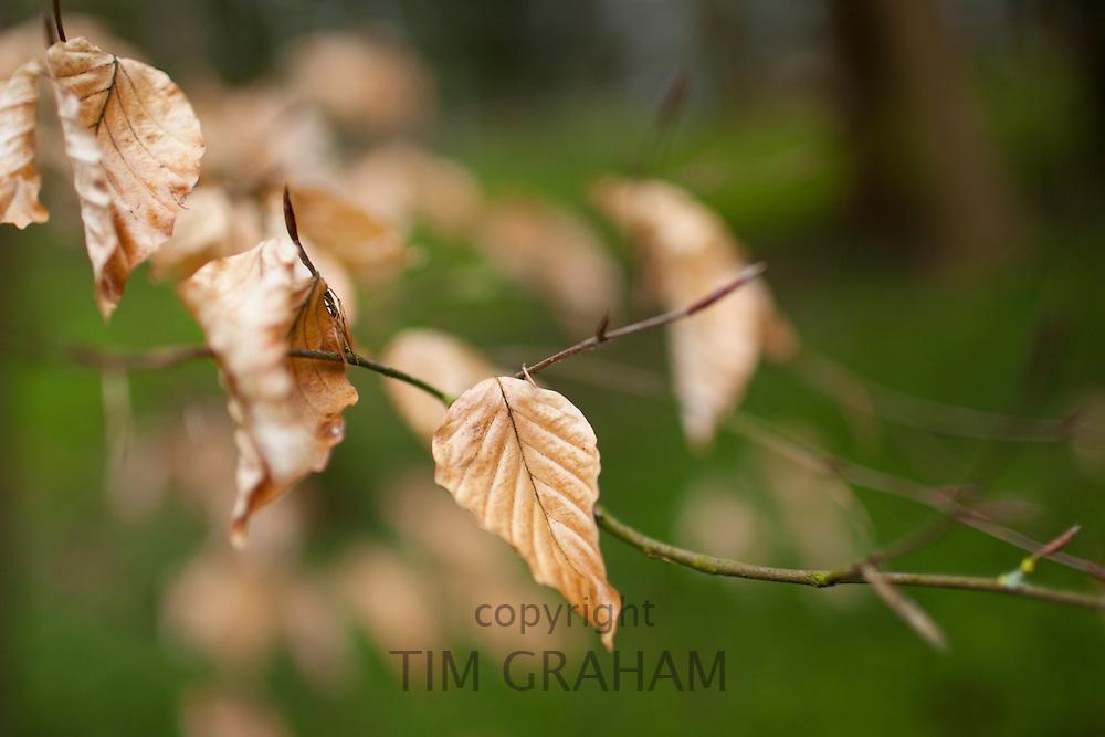 Beech leaves in winter form in Swinbrook in the Cotswolds, Oxfordshire, UK