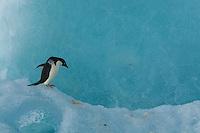 An Adelie Penguin (Pygoscelis adeliae) on an iceberg, Weddell Sea.