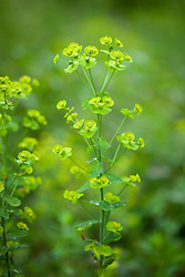 Wood Spurge. Euphorbia amygdaloides