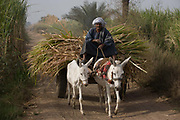 A local man with his mule and cart leaves the fields laden with sugarcane near Qurna, a village on the West Bank of Luxor, Nile Valley, Egypt. In Egypt, sugar cane juice is called aseer asab and is by far the most popular drink served by almost all fruit juice vendors, who are abundant in most cities.
