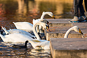 Swans eat feed left by tourists at Lake Eola Park in Orlando, Florida. Lake Eola Park is located in the heart of Downtown Orlando and home to the Walt Disney Amphitheater.