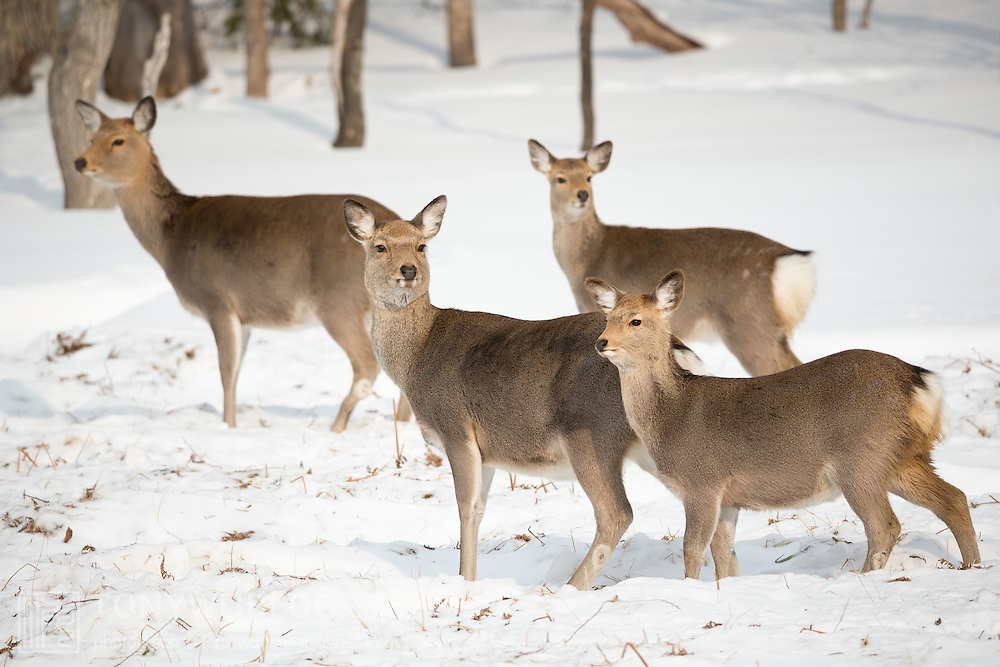 Japanese spotted deer (Cervus nippon yesoensis) with young fawn and two more deer in the background. The deer were foraging for food during winter. Photographed in Shiretoko National Park, Utoro, Hokkaido, Japan.