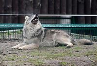 30.12.2013 Bialystok Bialostocki Akcent ZOO przeszedl gruntowna modernizacje. Nowe wybiegi dostaly niedzwiedzie brunatne, wilki i inne drobne zwierzeta. Nowoscia  w ZOO jest m.in wybieg dla zbika N/z wilk szary (Canis lupus) fot Michal Kosc / AGENCJA WSCHOD