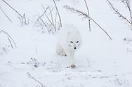 01863-01605 Arctic Fox (Alopex lagopus) in winter Churchil Wildlife Management Area Churchill, MB