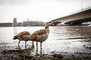 flood of the Rhine on February 5th. 2021, two Egyptian Geese on the banks in the district Deutz, Deutzer bridge, Cologne, Germany.<br /> <br /> Hochwasser des Rheins am 5. Februar 2021, zwei Nilgaense am Rheinufer in Deutz, Deutzer Bruecke, Koeln, Deutschland.