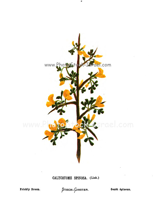 Calicotome spinosa (known as thorny broom or spiny broom Here as Prickly Broom). From the book Wild flowers of the Holy Land: Fifty-Four Plates Printed In Colours, Drawn And Painted After Nature. by Mrs. Hannah Zeller, (Gobat); Tristram, H. B. (Henry Baker), and Edward Atkinson, Published in London by James Nisbet & Co 1876 on white background