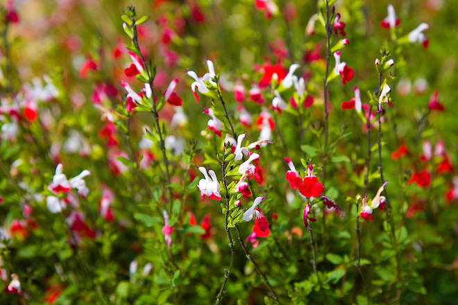 Roberta Walker of Sacramento, Calif. in Northern California planted a variety of drought-tolerant plants at her home.  One of the plants is the autumn sage (Salvia greggii), a perennial evergreen sub-shrub that is native to Southwest Texas and the Chihuahuan Desert of Mexico. The plant features a long blooming season from spring to the fall, with red shades and other varieties in pink, purple, white and orange. Hummingbirds are attracted to the plant that grows up to four feet high. Photo taken April 26, 2010.  Dale Kolke / The California Department of Water Resources, FOR EDITORIAL USE ONLY