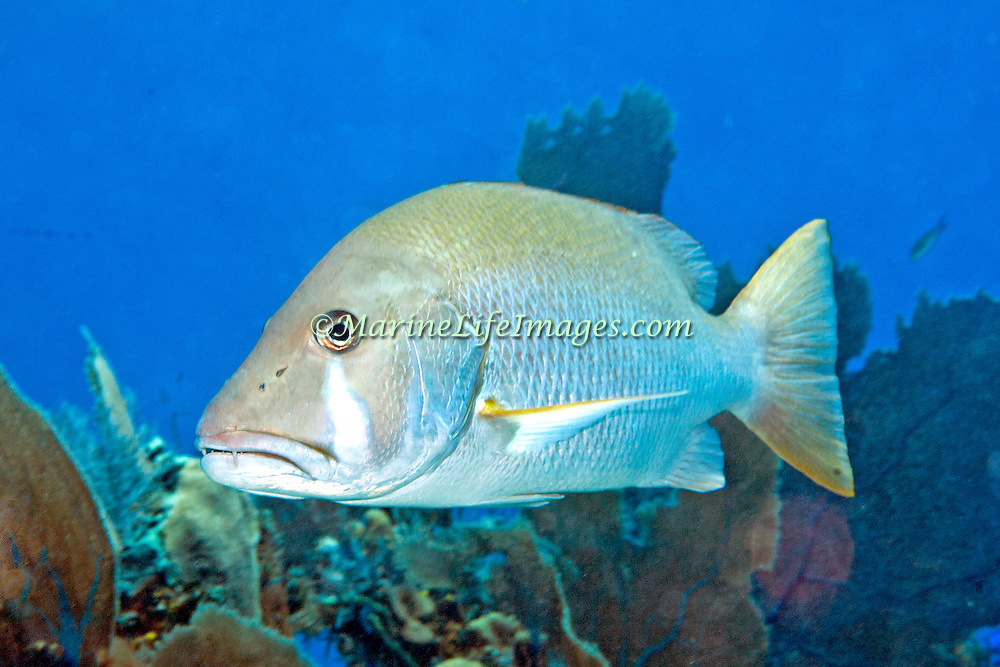Dog Snapper inhabit mid-range reefs, in Tropical West Atlantic; picture taken Little Cayman.