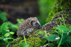 Young hedgehog or hoglet, Erinaceus europaeus, Staffordshire, England, UK.<br /> Photo: Ed Maynard<br /> 07976 239803<br /> www.edmaynard.com