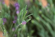 Close up selective focus photograph of Lavender Plants