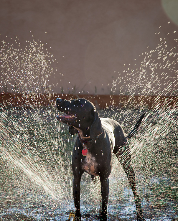 Pepper the dog plays in the sprinkler at her new home in Mission Plaza.