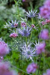 Eryngium x zabelii with Verbena bonariensis