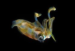 Reef Squid, Sepioteuthis sp., Similan Islands Marine National Park, Thailand, Andaman Sea