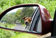 A dog seen in a car mirror enjoying a drive down the road n Maui.