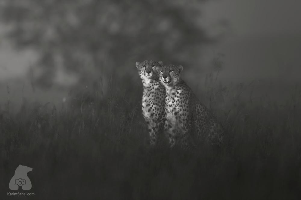 Cheetahs looking for preys, Masai Mara, Kenya