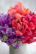 Lathyrus odoratus 'Eclipse', 'Prince of Orange' and 'Henry Thomas' - sweet pea arrangement In small earthenware jar