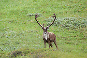 Barren Ground Caribou bull in arctic habitat