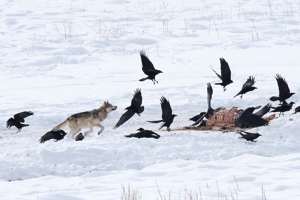 A wolf pup from the Wapiti Pack chases ravens off a bison carcass laying in the snow along the Madison River in Yellowstone National Park.