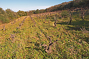 Domaine Fontedicto, Caux. Pezenas region. Languedoc. 70 year old Terret grape vine variety. Terroir soil. France. Europe. Vineyard.