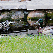 I have grown up watching this duck couple on my families property, they are such a beatuiful pair.