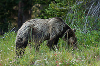 "This Grizzly bear caused a massive ""Bear Jam"" along the highway in the Tower Falls area of Yellowstone.  It took us over 20 minutes to get through the area as the tourists all stopped to take pictures as this beautiful bear enjoyed a snack on the side of the road...©2009, Sean Phillips.http://www.Sean-Phillips.com"