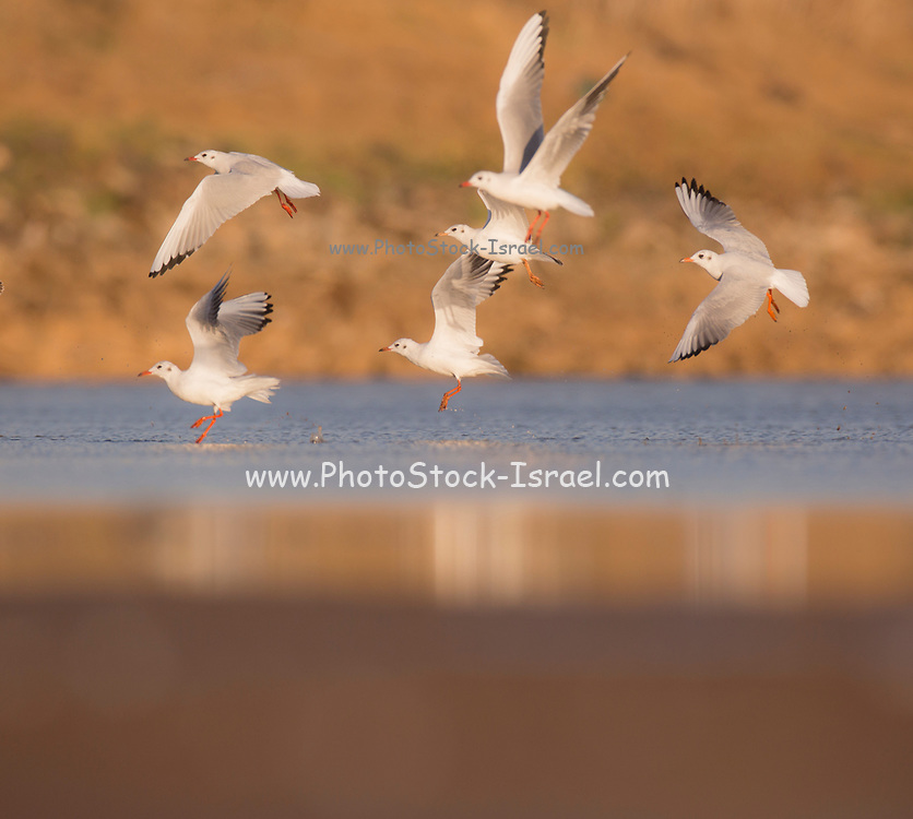 A flock of Black-headed Gulls (Chroicocephalus ridibundus) near the water. The adult black-headed gull has a brown head in the summer and a white head in the winter. It is a small gull, with a wingspan of 94-105 centimetres and a length of up to 44 centimetres. Photographed in Israel in November