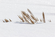 Grasses emerge from the sparkling late winter snow in Yellowstone National Park, Wyoming.