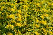 Lysimachia (Lysimachia punctata) showing whorls of yellow flowers, Oxfordshire, UK.