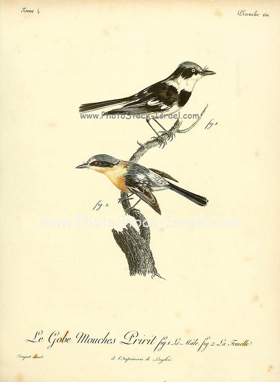 Gobe mouches Pririt from the Book Histoire naturelle des oiseaux d'Afrique [Natural History of birds of Africa] Volume 4, by Le Vaillant, Francois, 1753-1824; Publish in Paris by Chez J.J. Fuchs, libraire 1805