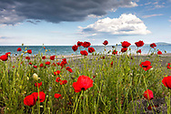 Poppies by the seaside and stormy sky