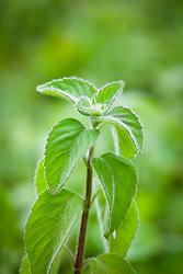 Corn Mint, Japanese Mint. Mentha arvensis